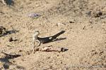 [Bild: Gallotia stehlini, juvenil, Gran Canaria, Maspalomas]