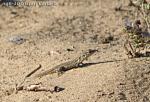 [Bild: Gran Canaria Giant (Gallotia stehlini), juvenil, 1år+]