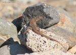 [Bild: Gallotia stehlini, vuxen, Gran Canaria, Maspalomas]