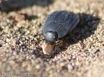 [Bild: SvartBagge (Tenebrionidae)]
