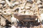 [Bild: Gräshoppa (Oedipoda coerulescens), kanske. Maspalomas, Gran Canaria]