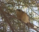 [Bild: Västra Kanarieöarnas 'Chiffchaff' (Phylloscopus canariensis canariensis)]