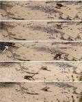 [Bild: Gran Canaria Giant, 2st vuxna, 4-5år och en 7+år (Gallotia stehlini), Maspalomas, Gran Canaria]
