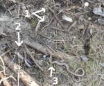 [Bild: 3st Kopparödlor (Anguis fragilis)]