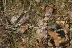 [Bild: Vanlig snok (Natrix natrix)]