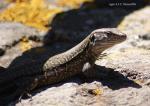 [Bild: Tenerife Lizard (Gallotia galloti)]
